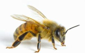 Bee Picture for Scrimshawing